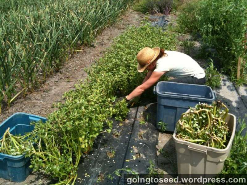 The Best Strategy To Use For Where To Plant Purslane